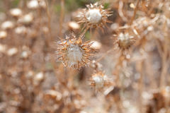 Dried Weeds Royalty Free Stock Images