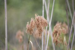 Dried Weeds Stock Image