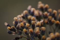 Dried Western Ironweed stock photography