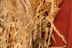 Dried Wheat and Corn Husks Stock Photos