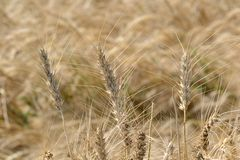 Dried Wheat Crop in India Royalty Free Stock Photos