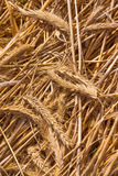 Dried wheat on the floor. Dried golden wheat ears on the floor Stock Image