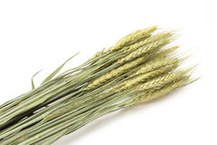 Dried wheat Royalty Free Stock Photography