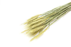 Dried wheat Stock Image