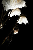 Dried white flowers Royalty Free Stock Photos