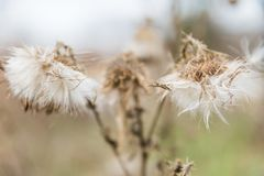 Dried White Milkweed Flowers in Golden Winter Vegetation and Blu. Rred Background royalty free stock photo
