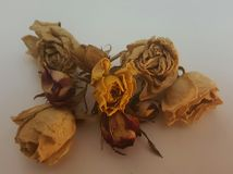 Dried white red yellow roses in a bouquet Royalty Free Stock Photo