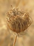 Dried wild carrot Royalty Free Stock Images