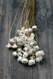 dried wild daisies Stock Photography