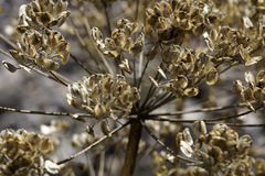 Dried wild flower Royalty Free Stock Images