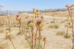 Dried wild flowers in the field, Jordan, summer time. Stock Photo