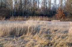 Dried Winter Reeds Stock Photos
