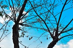 Dried winter tree branches and leaves with blue sky background Royalty Free Stock Photo