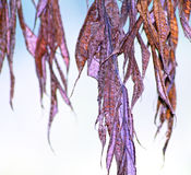 Dried and withered leaves hanging from tree Stock Images