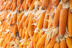 Dried yellow corn Royalty Free Stock Image