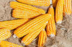 A Dried yellow Corn,Many mature corn for animal Stock Photography
