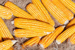A Dried yellow Corn,Many mature corn for animal Royalty Free Stock Images