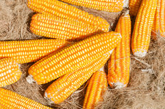 Dried yellow Corn,Many mature corn for animal Stock Images