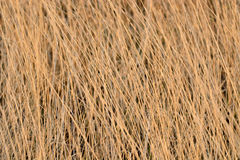 Dried yellow grass Royalty Free Stock Images