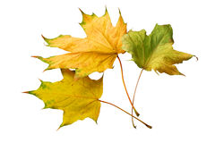 Dried yellow maple leaves Royalty Free Stock Photography