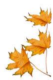 Dried yellow maple leaves Royalty Free Stock Images