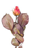 Dried yellow and pink rose bud. Isolated on white Stock Photo