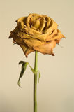 Dried yellow rose Stock Image