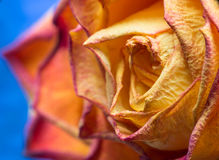 Dried yellow rose Royalty Free Stock Photos