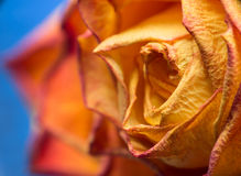 Dried yellow rose Royalty Free Stock Images