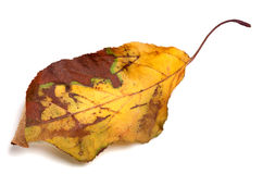 Dried yellowed autumn leaf Stock Images