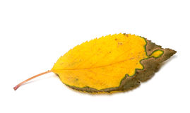 Dried yellowed autumn leaf Royalty Free Stock Photography