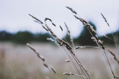 Dried yellowed grass spikes in the field on the background of the autumn sky. Dry grass close-up on a white blurred background royalty free stock photos