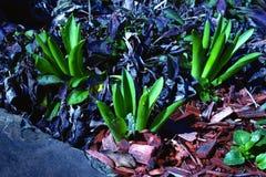 Drietal van jonge purpere hyacintbloemen in de vroege lente royalty-vrije stock foto's