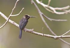 Drieteenglansvogel, Three-toed Jacamar, Jacamaralcyon tridactyla stock images