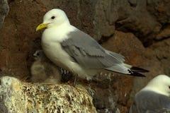 Drieteenmeeuw (tridactyla Rissa) op nest Royalty-vrije Stock Foto