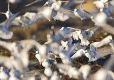 Drieteenstrandloper, Sanderling, Calidris alba, στοκ φωτογραφίες με δικαίωμα ελεύθερης χρήσης
