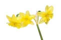 Drievoud geleide Gele narcis Royalty-vrije Stock Afbeelding