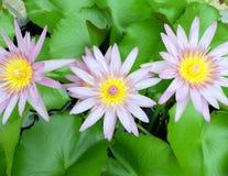 Drievoudige lotusbloem Royalty-vrije Stock Afbeeldingen