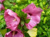 Drievoudige Roze Bloesems Stock Afbeelding