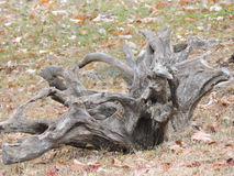 Drift wood large unusual shape left at the curb for pick up. Tree fallen piece Stock Images
