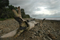 Drift Wood on Rocky Beach. With storm clouds stock photo