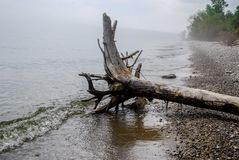 Drift Wood Tree on the foggy Lake Michigan Shore stock images