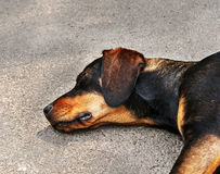 Drifter yellow and black dog sleeping on asphalt Stock Images