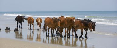 Drifters. Significant herd of wild, brown, mustang horses walking the beaches of the Outer Banks, NC. Turquoise waters and pale blue sky beyond them. Reflective royalty free stock photos