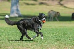 Driftig samlas hund som har gyckel Arkivfoton