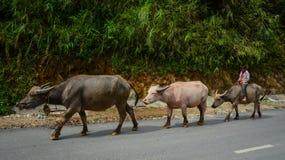 Driftiga bufflar för folk på den lantliga vägen Arkivbilder