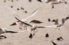 driftiga seagulls royaltyfri bild