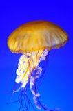 Drifting jellyfish Royalty Free Stock Photo