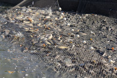 Driftnet with fish stock images