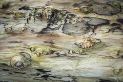 Driftwood στην παραλία του ST Cyrus στη Σκωτία Στοκ Εικόνα